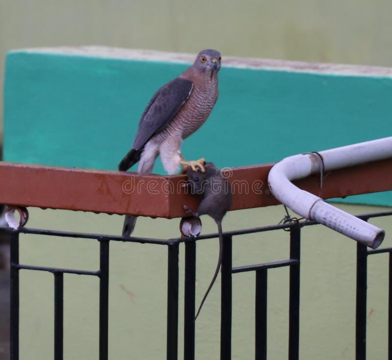 Sparrowhawk - Shikra stock afbeeldingen