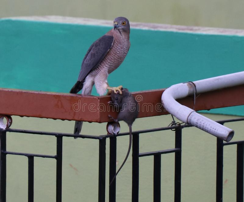 Sparrowhawk - Shikra royalty-vrije stock foto's