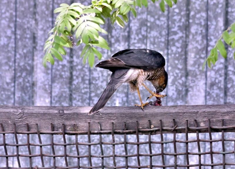 Sparrowhawk som äter dess rov arkivbilder
