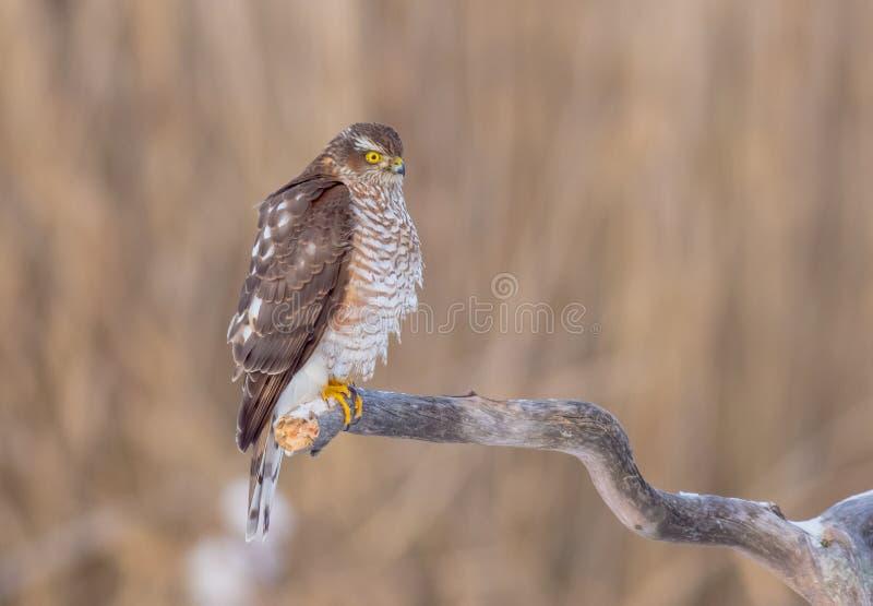 Sparrowhawk - Sperber euroasiatici - nisus del Accipiter fotografie stock