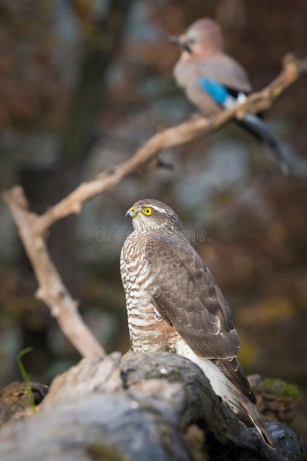 Sparrowhawk und Jay Der Eurasier Sparrowhawk, Accipiter nisus, das auf der Niederlassung in der beuatiful bunten Herbstumwelt sit stockbilder