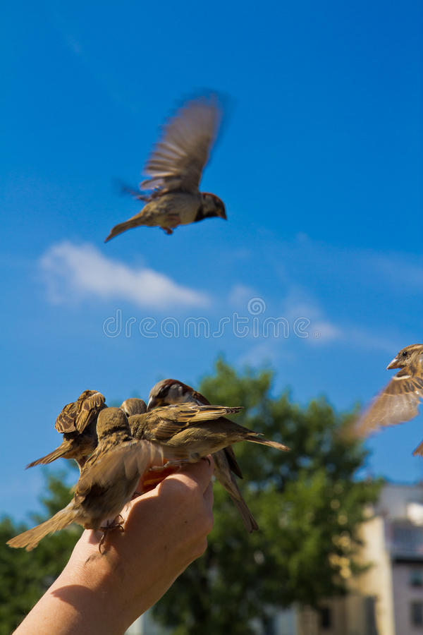 Download Sparrows stock photo. Image of dependence, bird, hunger - 22053748