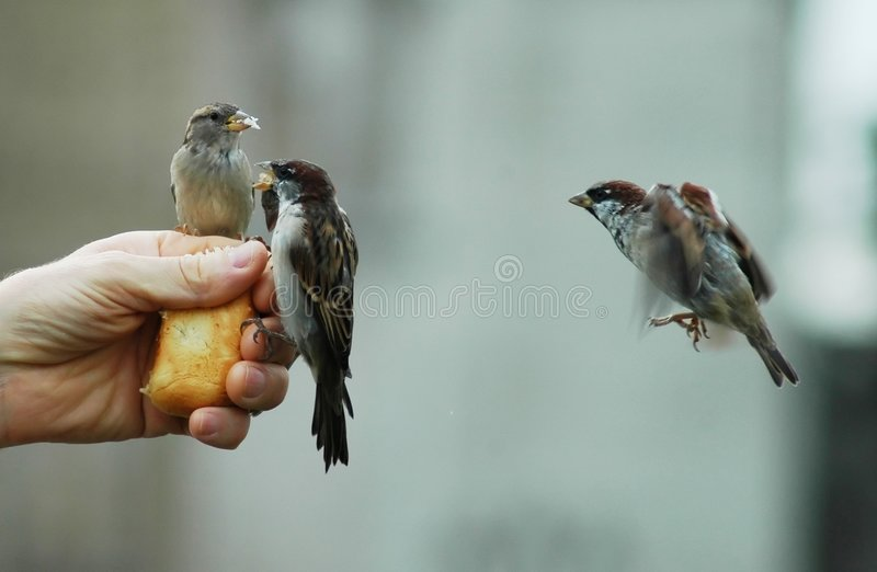 Sparrows stock photos