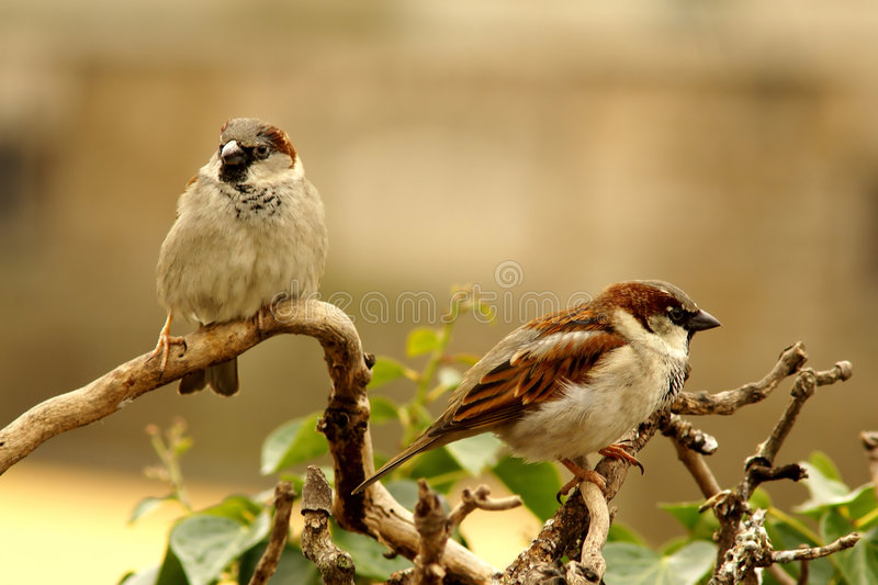 Sparrows royalty free stock photo