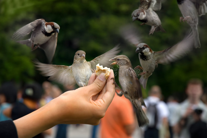Download Sparrows stock photo. Image of season, dinner, gripping - 5284212