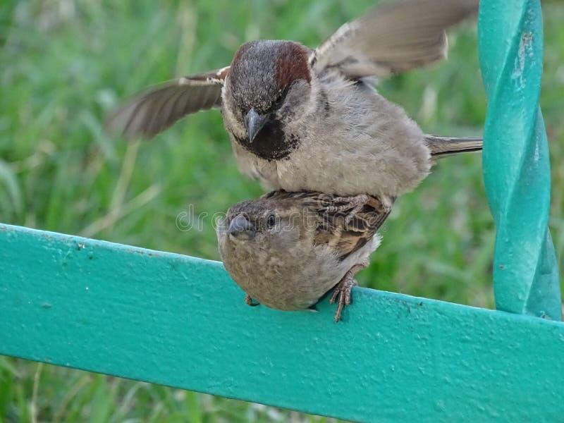 sparrows fotografia stock libera da diritti