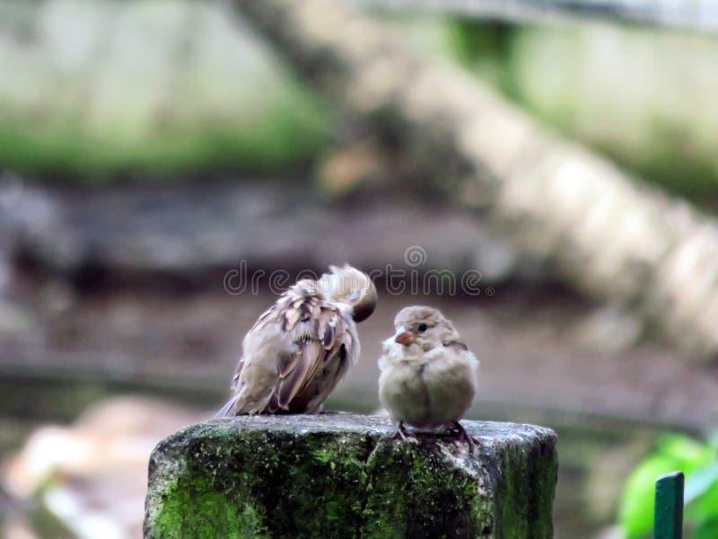 sparrows stock afbeelding