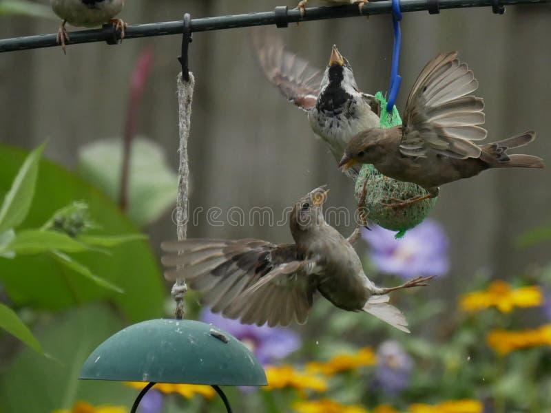 sparrows fotografia stock