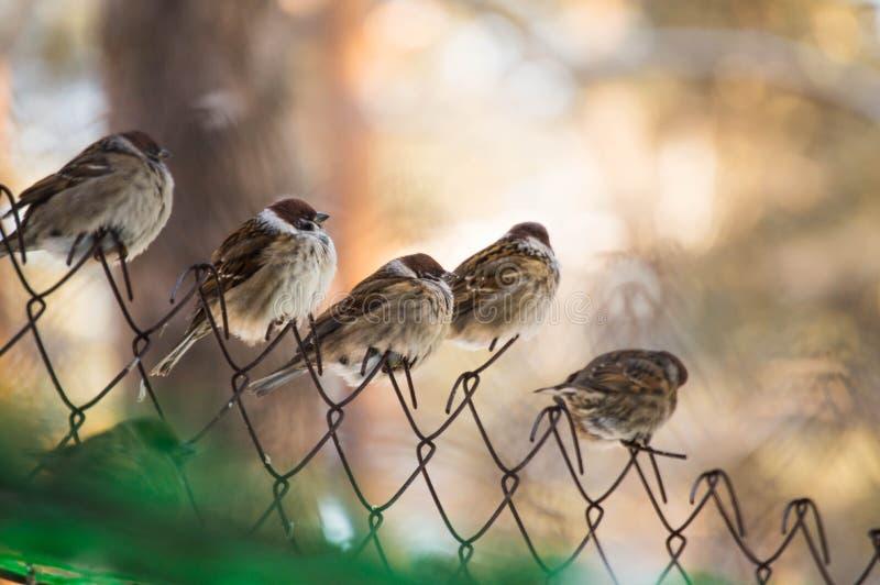 sparrows royaltyfri foto