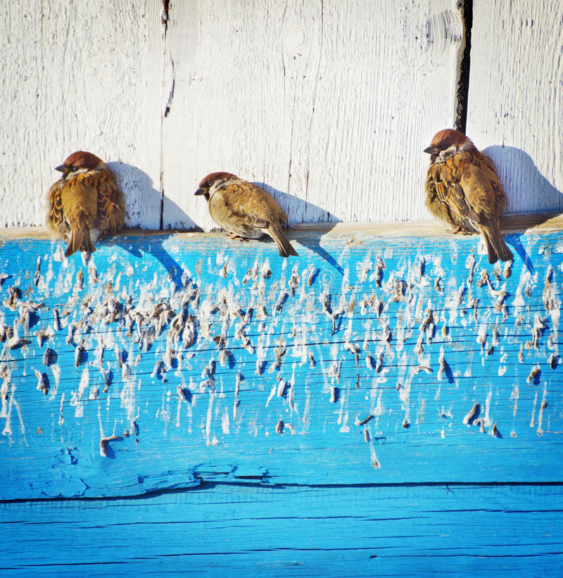Free Sparrows Bask Under The Sun Royalty Free Stock Photo - 29520025