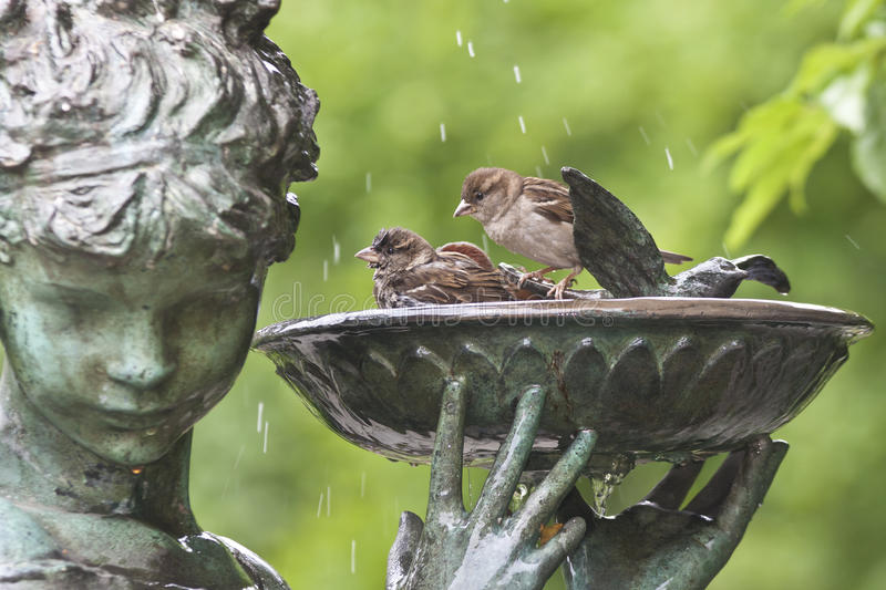 Sparrows in bird bath royalty free stock images