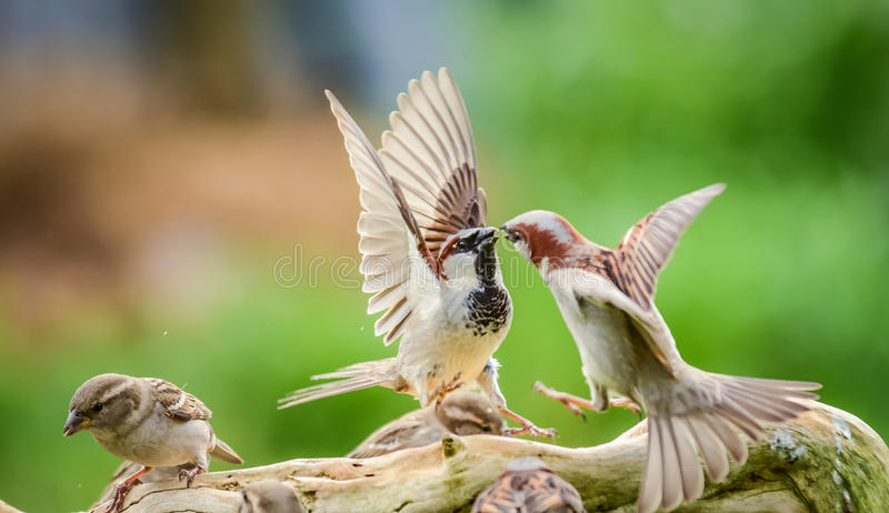 Sparrows fighting stock photos