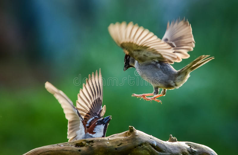 Sparrows fighting stock photo
