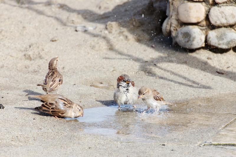 Sparrows having a shower royalty free stock image