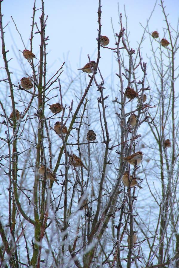 Sparrows på djupfryst tree arkivfoto
