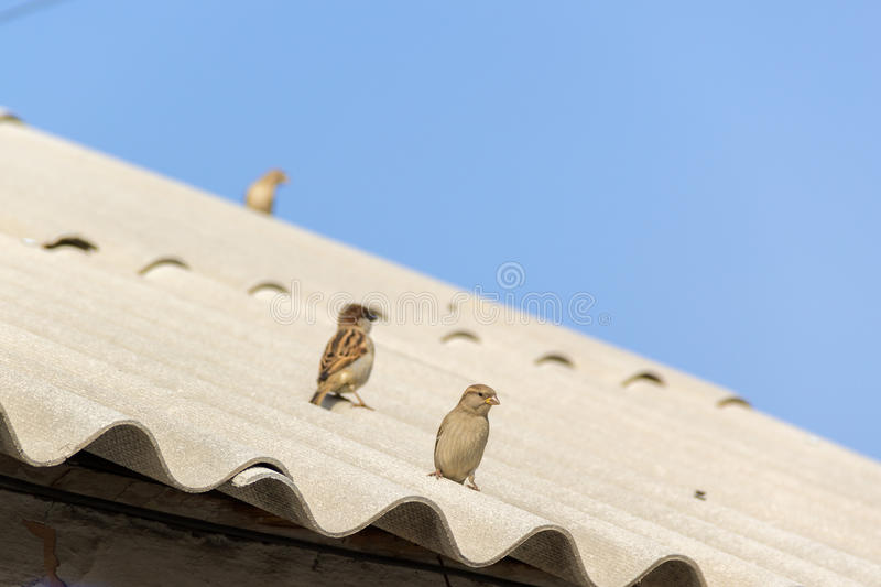 Sparrows on the roof stock images