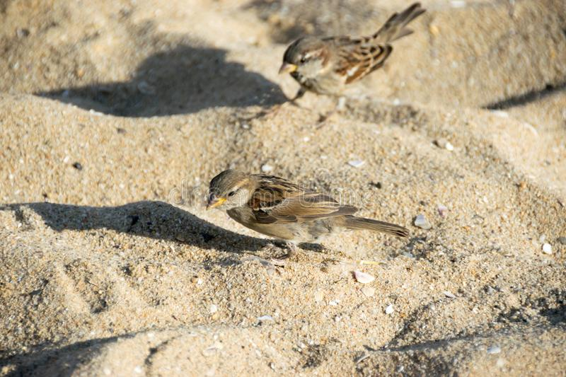 Sparrows on a sandy beach eating bread crumbs. Close-up view of sparrows on a sandy beach eating bread crumbs. Coast of Black Sea in Golden Sands resort in stock photo