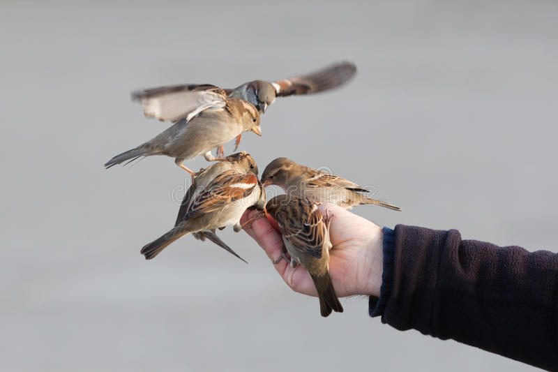 Download Sparrows Sitting On A Male Hand Stock Photo - Image: 27931880