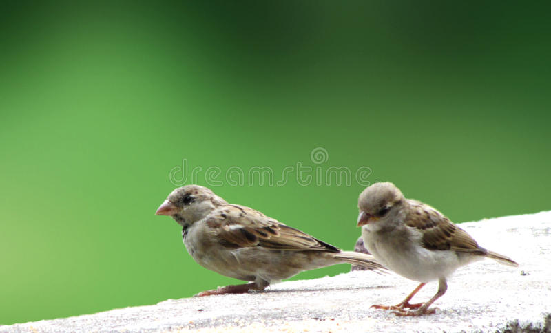 Sparrows stock photo image of small animal singing 44986998 two female sparrow birds sitting on the top of the wall thecheapjerseys Gallery