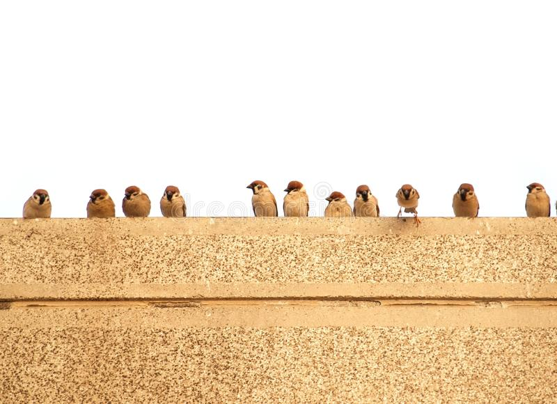 Sparrows on a wall stock photo image of plumage beaks 18472476 download sparrows on a wall stock photo image of plumage beaks 18472476 thecheapjerseys Gallery