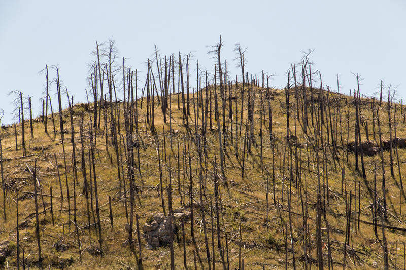 Sparse and burnt. Sparse and burned trees on a mountain in South Dakota stock images