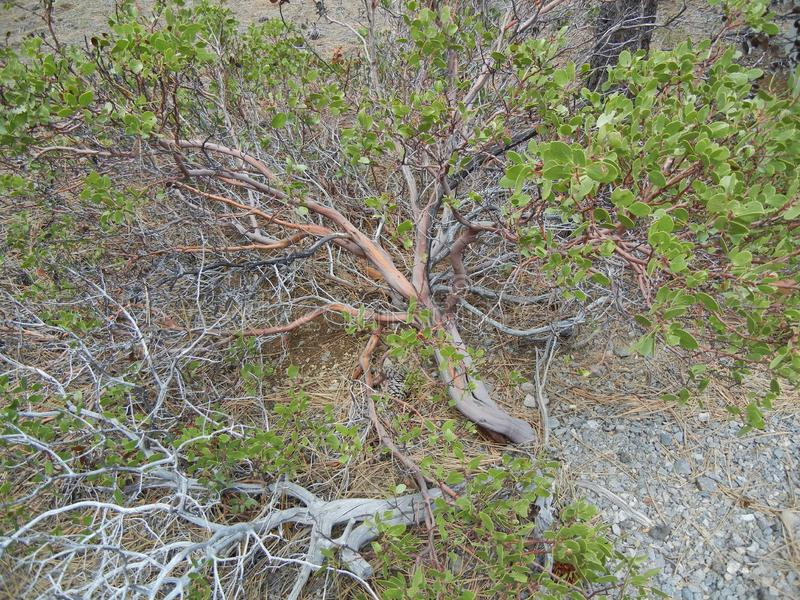 A sparse Coyote Bush. Shot from the sidwalk stock photography