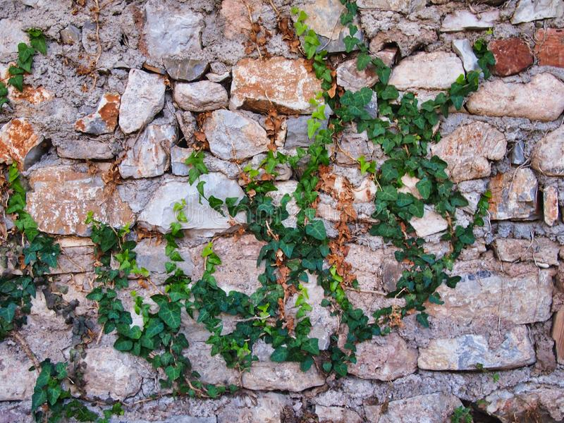 Sparse Green Ivy Growing Over Stone Wall. Detail of a mortared natural as found stone wall with sparse green ivy growing over it royalty free stock images