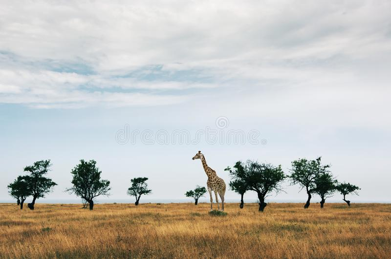 Sparse trees in dried prairie. And giraffe against cloudy sky stock photography