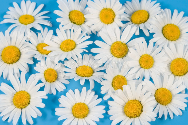 Sparse white chamomiles. On a blue background stock photography
