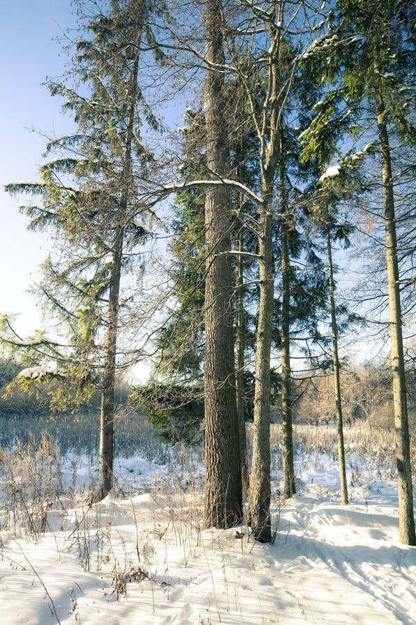 Sparse Wild Wood Royalty Free Stock Photo