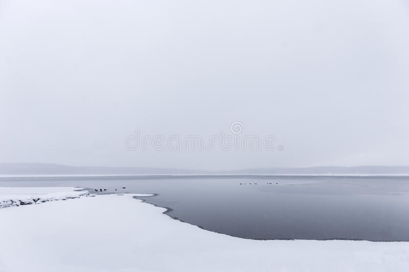 Sparse winter landscape. With ducks swimming in cold water royalty free stock photo
