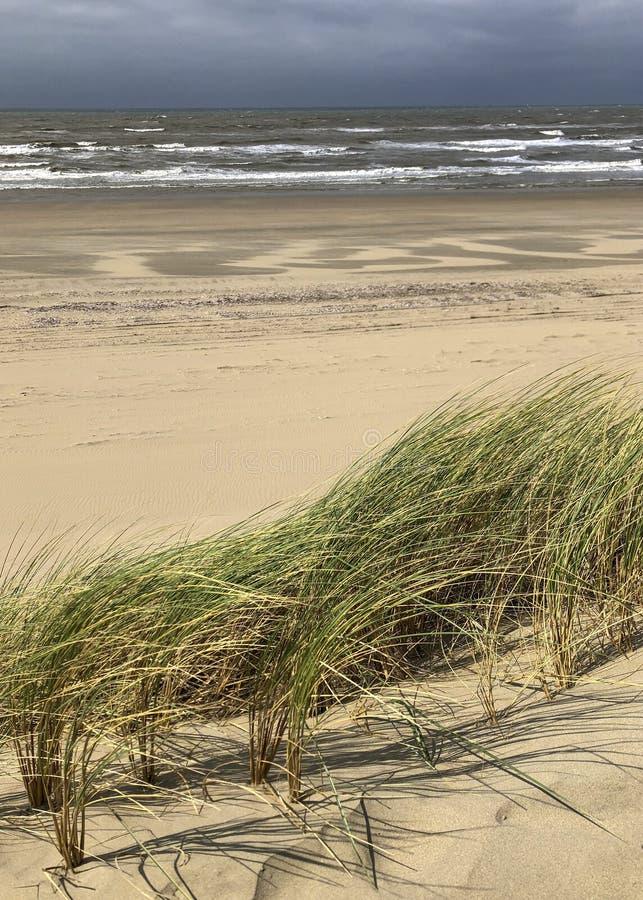 Sparto pungente nelle dune di sabbia a tira, cielo nuvoloso piovoso alla costa dei Paesi Bassi immagini stock