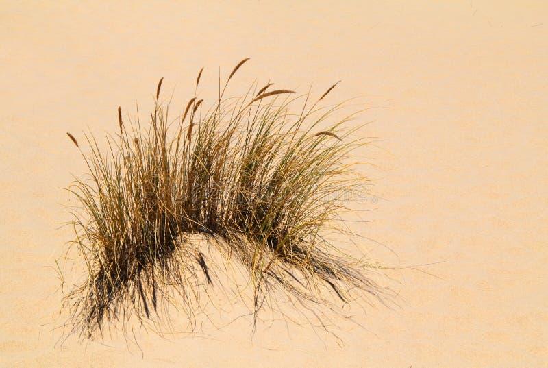 Sparto pungente in sabbia-duna fotografie stock