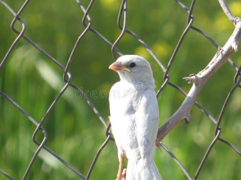 Sparv-albino royaltyfri bild