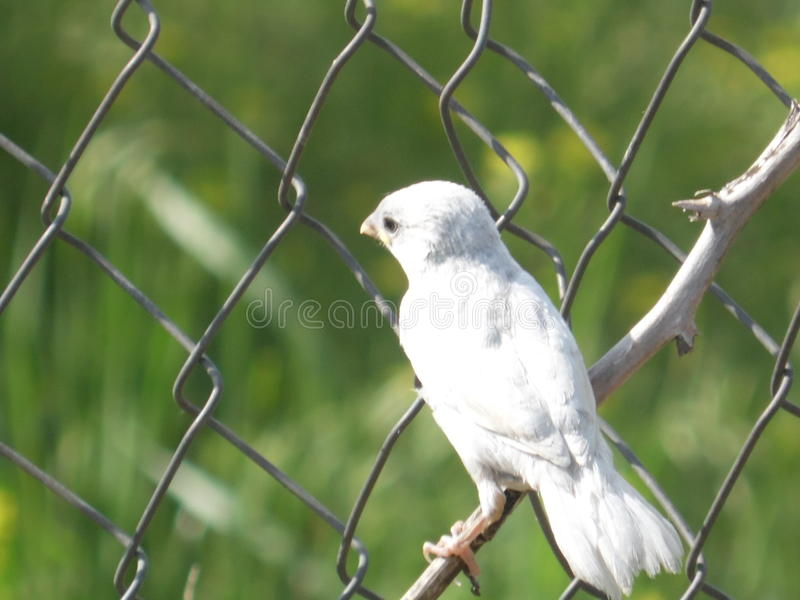 Sparv-albino arkivfoton