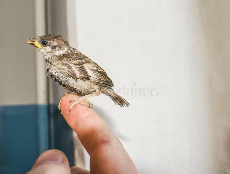 Sparv för ung fågel i manliga händer arkivbilder