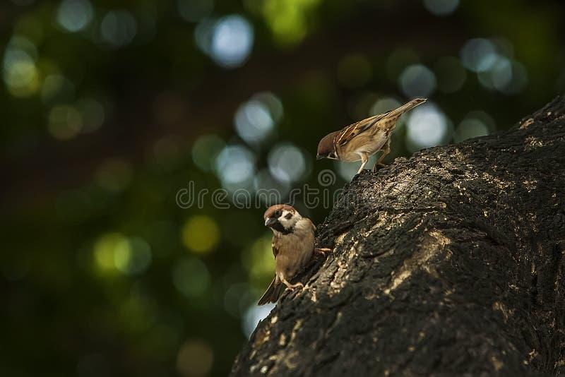 Sparv, när fåglarna går tillbaka Förbipasserandedomesticusuppsättningen frigör royaltyfria bilder