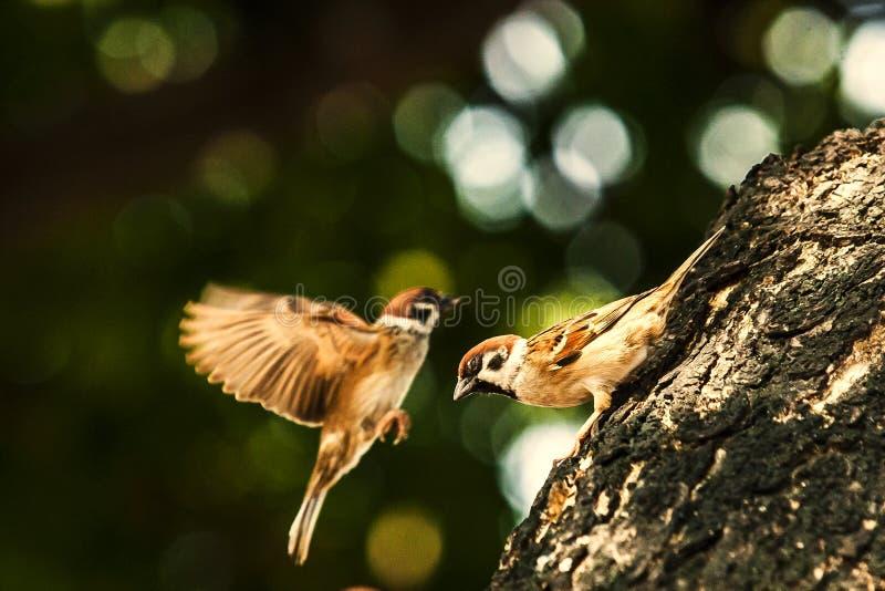 Sparv, när fåglarna går tillbaka Förbipasserandedomesticusuppsättningen frigör arkivfoto
