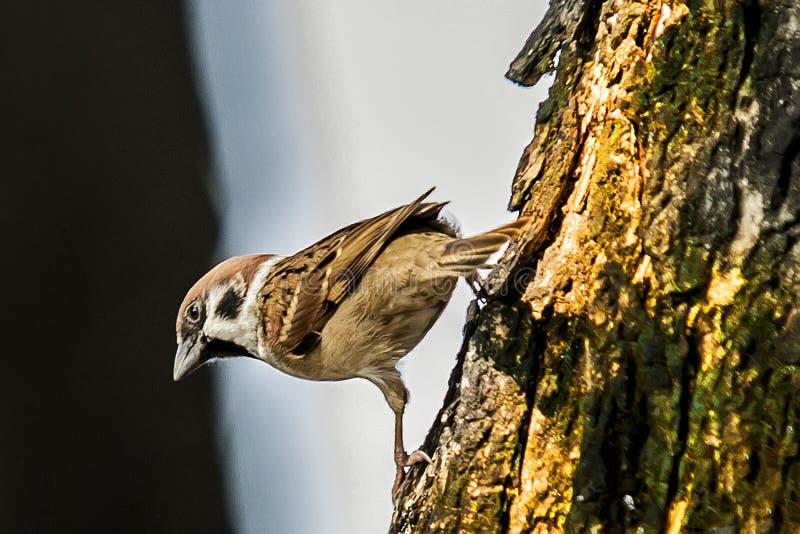 Sparv, när fåglarna går tillbaka Förbipasserandedomesticusuppsättningen frigör arkivfoton
