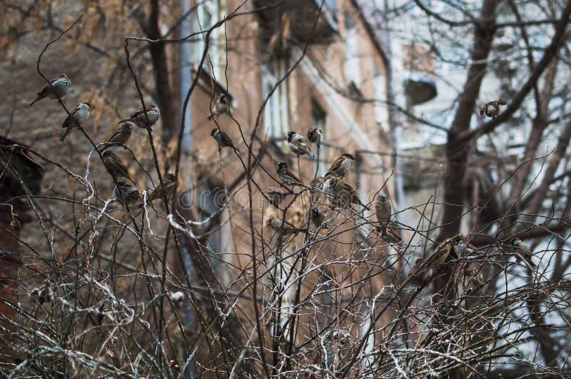 Sparv på filialer av buskar Vintervardagar för sparvar Gemensam sparv på filialerna royaltyfri bild