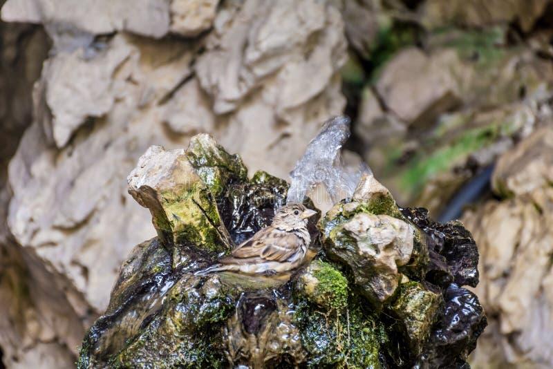 Sparv som söker efter vatten arkivfoton