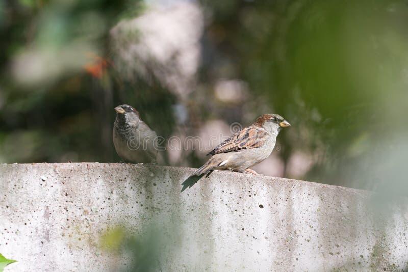 Download Sparv två på staketet fotografering för bildbyråer. Bild av konkret - 76703687