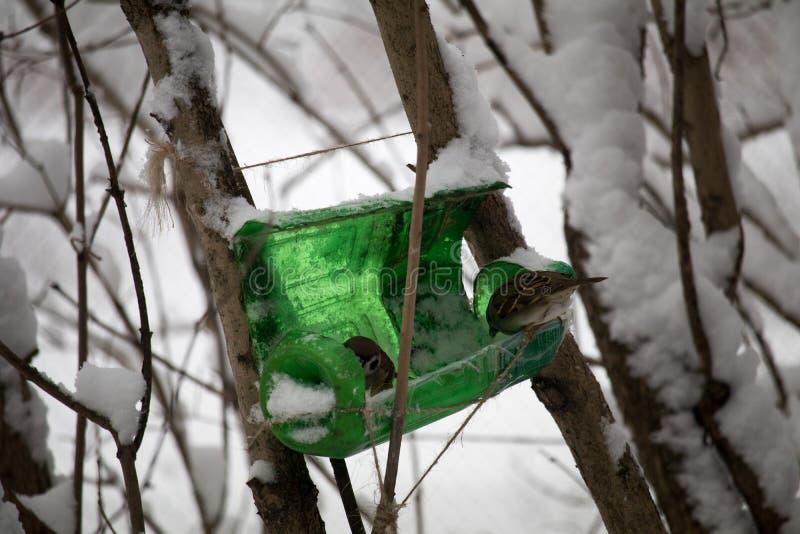Sparvar nära den hemlagade fågelförlagemataren som äter korn hjälp fåglarna i vinter skydd av fåglar och djur arkivfoton