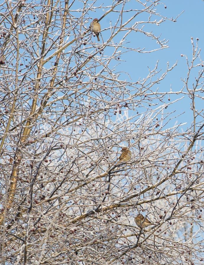Sparvar på ett djupfryst träd i oskarp bakgrund royaltyfri foto