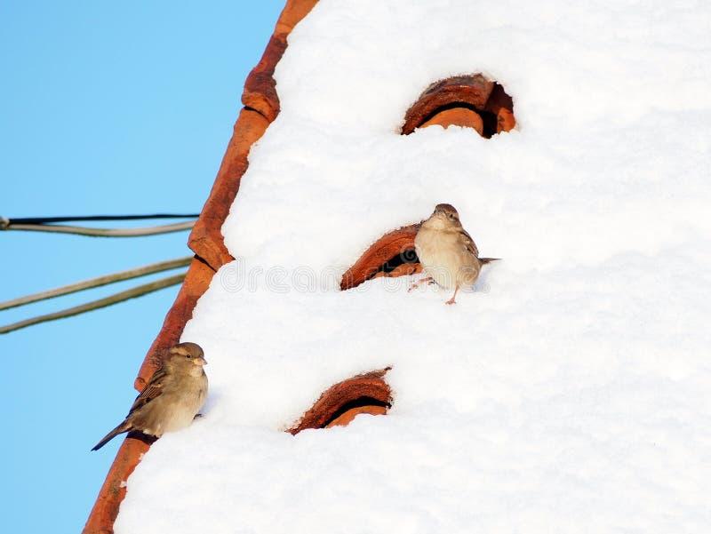 Sparvar på ett snöig tak royaltyfria foton