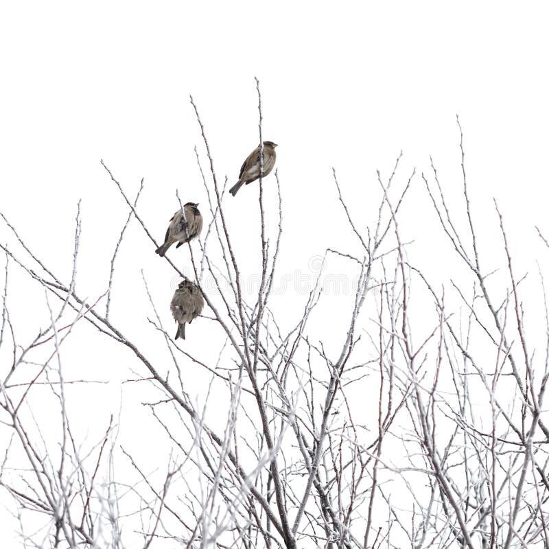 Sparvar på filialer i vinter fotografering för bildbyråer