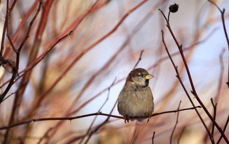 Sparvar på vinter förgrena sig fågeln royaltyfria bilder