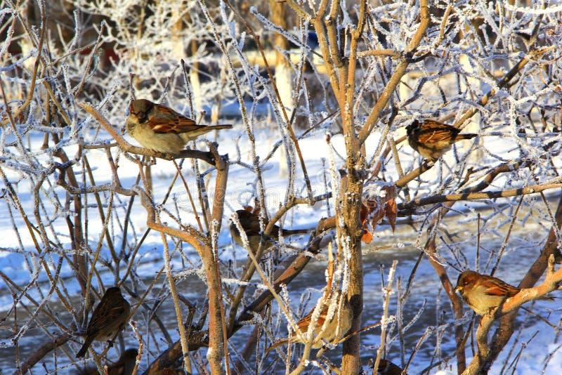 sparvar som sitter på trädfilialer på en frostig vinterdag fotografering för bildbyråer