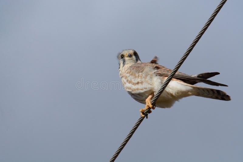 Sparverius américain d'oiseau ou de falco de crécerelle image libre de droits