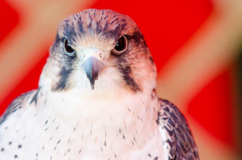 Sparverius américain de Falco de crécerelle image libre de droits